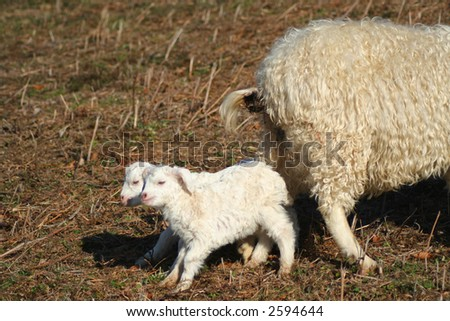 two little lamb with mother sheep