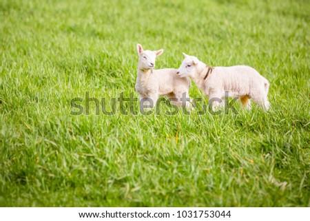 Two little lambs in a field #1031753044