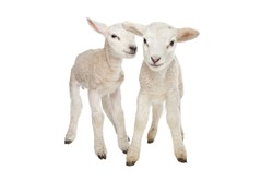 Two little lambs in front of a white background