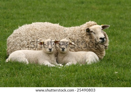 Two little lambs next to their mother looking at you