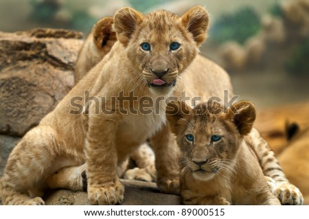 Two little Lion Cubs looking at something one has its tongue sticking out.