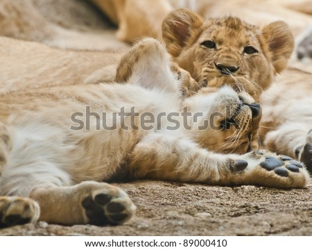Two little lion cubs playing with each other.