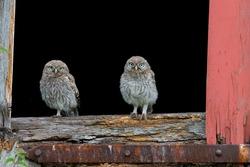 Two little owl babies on an old barn door