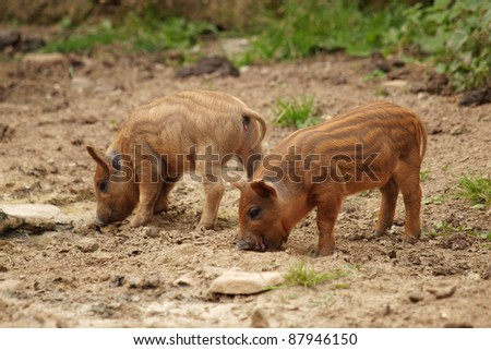 Two little pig