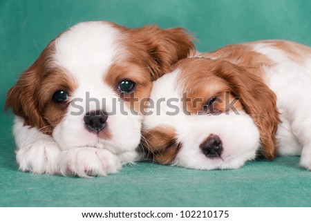 Two little puppies of a Cavalier King Charles spaniel, one is sleeping