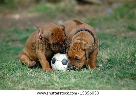 Two little Rhodesian Ridgeback hound dog puppies with cute expression in their faces playing together with a black and white soccer ball pet toy in the grass of the lawn in the backyard outdoors