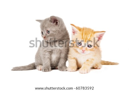 Two little sitting (lying) British short-hair kittens cat isolated