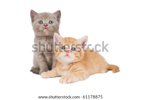 Two little sitting (lying) british shorthair kittens cat isolated