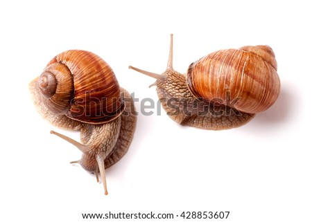 Stock Photo two live snail crawling on white background close-up macro