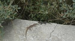 Two lizards, a grey-green Erhard's wall lizard (Podarcis erhardii) (Aegean wall lizard) and a  black-gray Kotschy's Gecko (Mediodactylus kotschyi) sitting on a wall