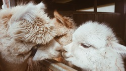Two llamas kissing. Cute little alpaca (lama animal, llama) baby in farm. Funny animal portrait. Close up tender young alpaca from llama farm or zoo. Furry lama baby