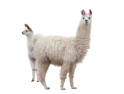 Two llamas on the side of a white background