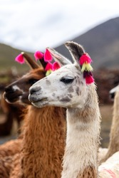 Two llamas standing and looking