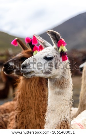Two llamas standing and looking #1061408051