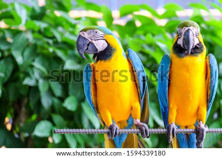 Photo of  two long-tailed macaw parrot with colorful feathers. Macaw bird close up.Blue-yellow macaw parrot portrait. has a background of nature Soft focus with blurred background.