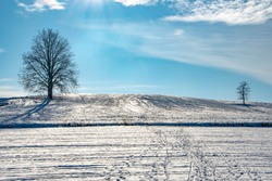 Two lonley trees over field of snow