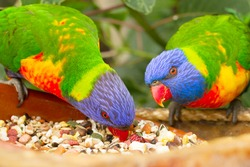 two lorri parrots eating food close up