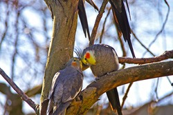Two lovely birds kissing each other on a tree.