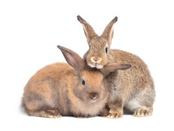 Two lovely brown rabbit isolated on white background. Lovely young rabbit sitting.