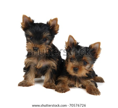 Two lovely puppies of the Yorkshire Terrier isolated on white