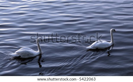 two lovely swans on a lake
