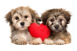Two lover Valentine Havanese puppies lie together with a red heart, isolated on white background
