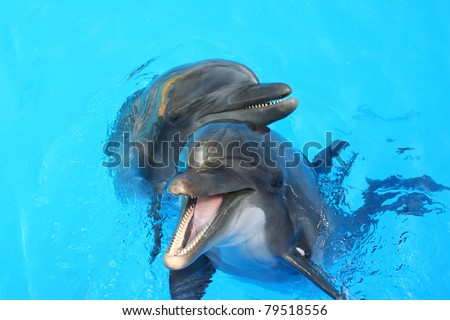 two lovers dolphin swimming in the pool