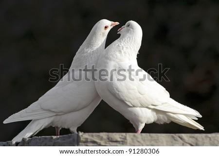 two loving white doves - stock photo