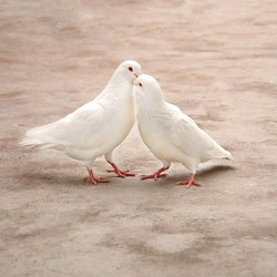 two loving white pigeons