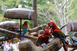 Two Macaw bird red.colorful macaw parrot