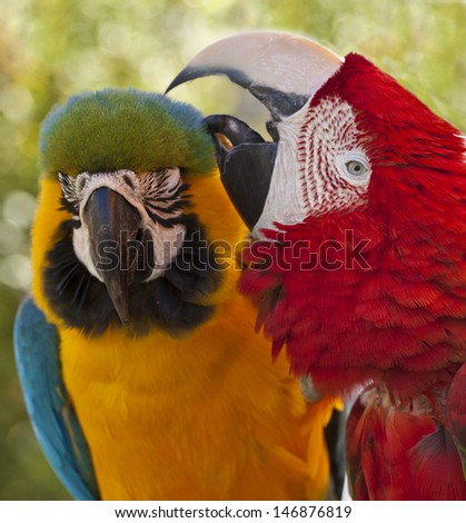 Two macaws grooming each other in Florida