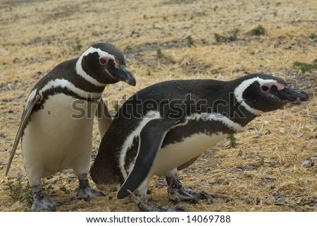 Two Magellanic penguins (Spheniscus magellanicus).  Punta Tombo, Peninsula Valdez, Patagonia, Argentina.
