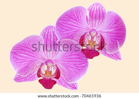 Two magenta orchids isolated on light background - stock photo