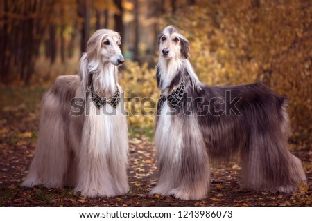 Two magnificent Afghan hounds, similar to medieval lords, with hairstyles and collarsStylish, gorgeous dogs on the background of the autumn mystical forest #1243986073
