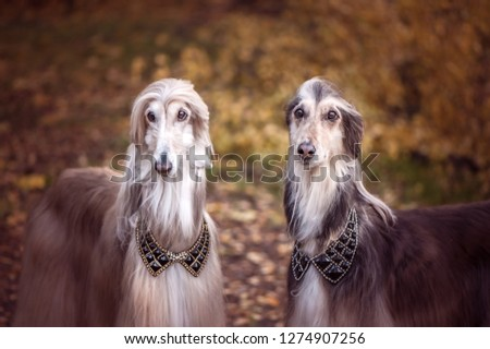 Two magnificent Afghan hounds,   Stylish, gorgeous dogs on the background of the autumn mystical forest #1274907256