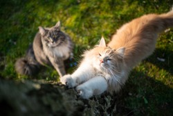 two maine coon cats standing next to tree. one cat is stretching
