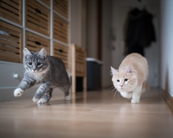 two maine coon kittens playing indoors running through corridor chasing the red dot of a laser pointer