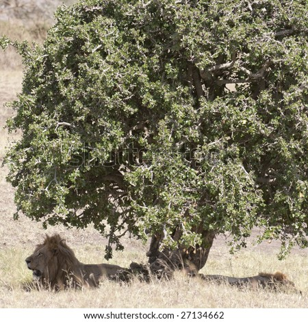 Two male African lions  (Panthera Leo) enjoying shadow under tree  in Masai  Mara National Park, Kenya, East Africa