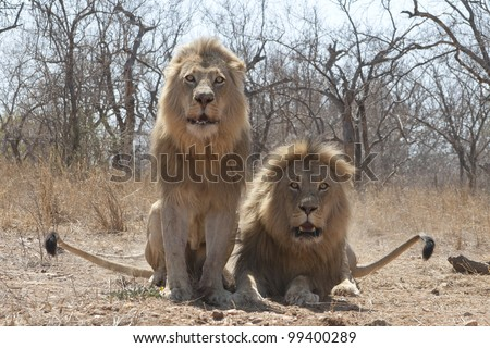 Two Male African Lions (Panthera leo) showing signs of aggression, South Africa