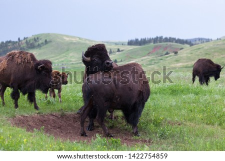 Two male bison use their heads and bodies in a contest of strength with a mother bison and her baby watching from the sidelines.