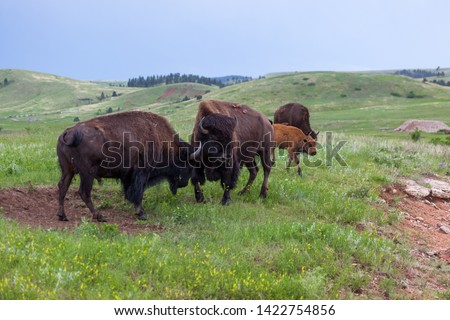 Two male bison use their heads and horns in a contest of strength with herd members in the background grazing on the priaire grass.
