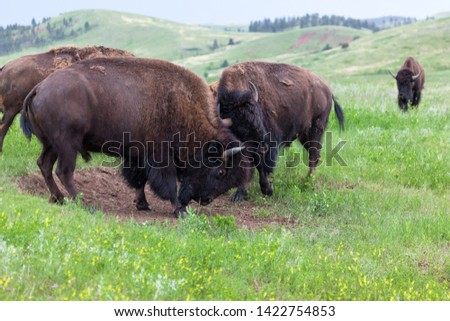 Two male bison use their heads and horns in a contest of strength with herd members watching with interest from a distance.