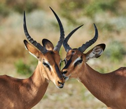 Two male black faced impala photographed in Namibia