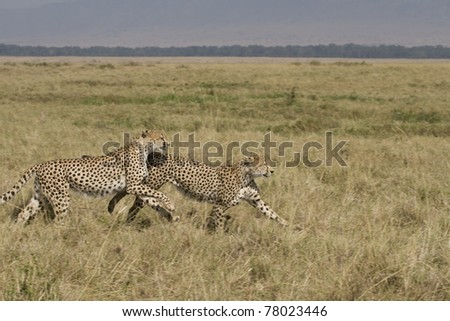 Two male cheetah running on the plains in the Masai Mara.