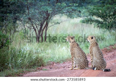 Two male cheetahs sit in the middle of dirt road looking into the tall grass on the savannah