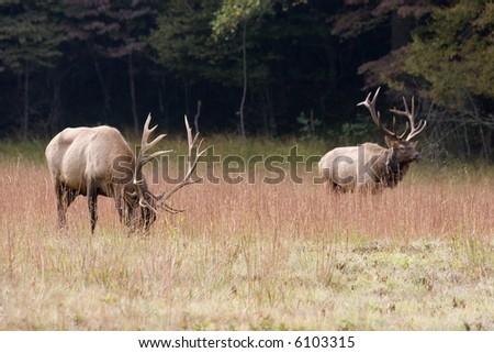 Two Male Elks in Field