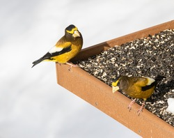 Two Male Evening Grosbeaks on the feeder at the Algonquin Park visitor centre. (Coccothraustes vespertinus)
