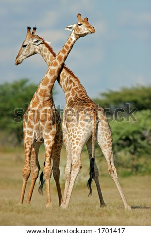 Two male giraffes (Giraffa camelopardalis) fighting, Etosha National Park, Namibia