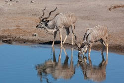 Two male Kudu (Tragelaphus strepsiceros) drinking at a waterhole in Etosha National Park in Namibia, Africa.