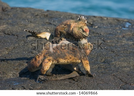 Two male Marine Iguana (Amblyrhynchus cristatus) in an intense fight.  Vulnerable and endemic to Galapagos. Puerto Egas, James Island, Galapagos, Ecuador.
